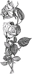 Roos    per stuk