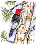 Red Headed Woodpecker on Pine tree    per stuk