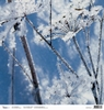 Winters fluitekruid met rijp