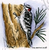 Downy Woodpecker on tree