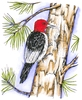 Red Headed Woodpecker on Pine tree