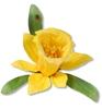 Daffodil   per set